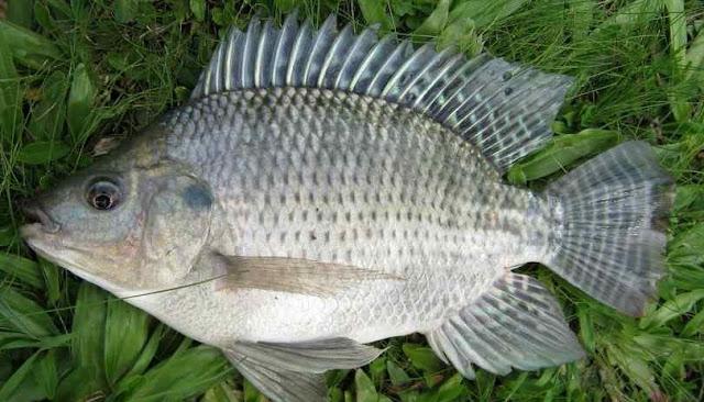 Perbedaan Ikan Mujair dan Nila Yang Perlu Diketahui