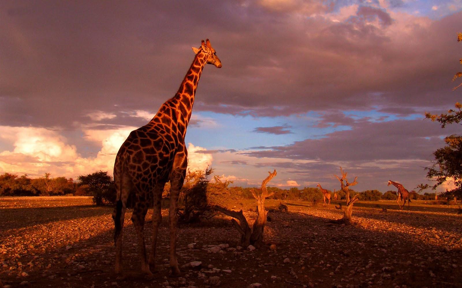 Giraffe Achtergronden | HD Wallpapers Wallpapers Bureaublad