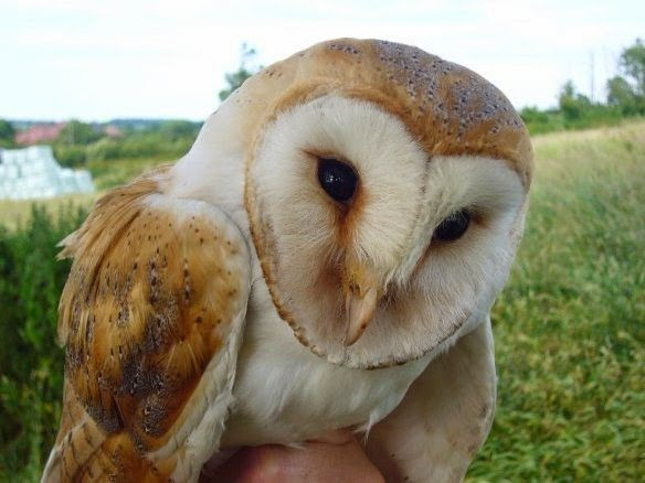 BTO Bird Ringing - 'Demog Blog': Bumper Barn Owl breeding ...