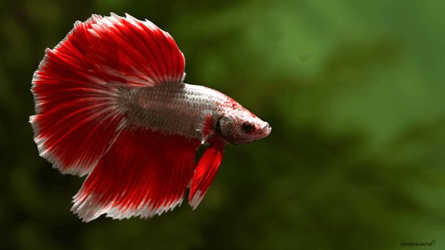 Dunia Ikan Hias - CUPANG HALFMOON (BULAN SEPOTONG)