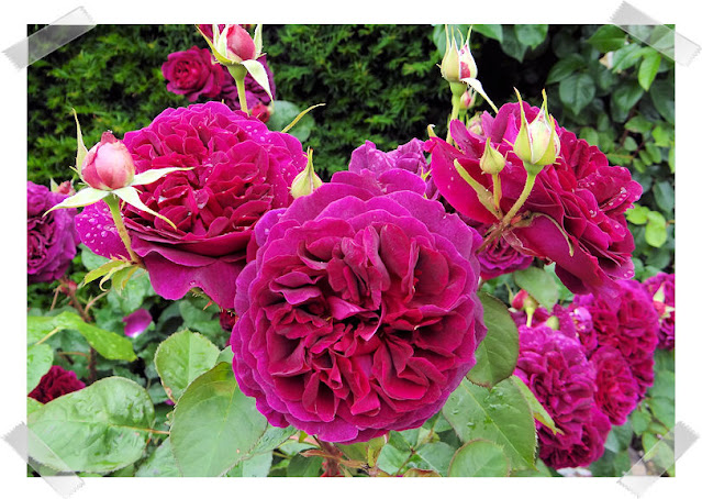 William Shakespeare Rose