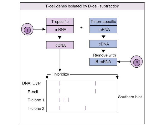 Isolation of T‐cell receptor genes
