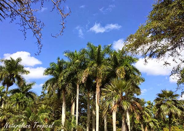 Palmetum donde se encuentra la palma real (Roystonea regia)