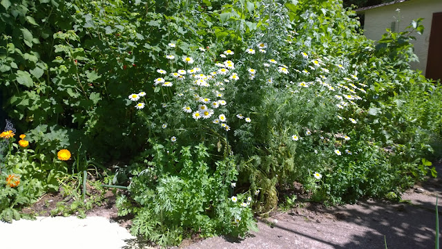 Ringelblumen und Bertram blühen vor den Beerensträuchern (c) by Joachim Wenk