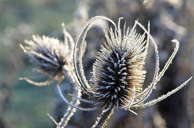 cardere fleur glace hiver jardin givre