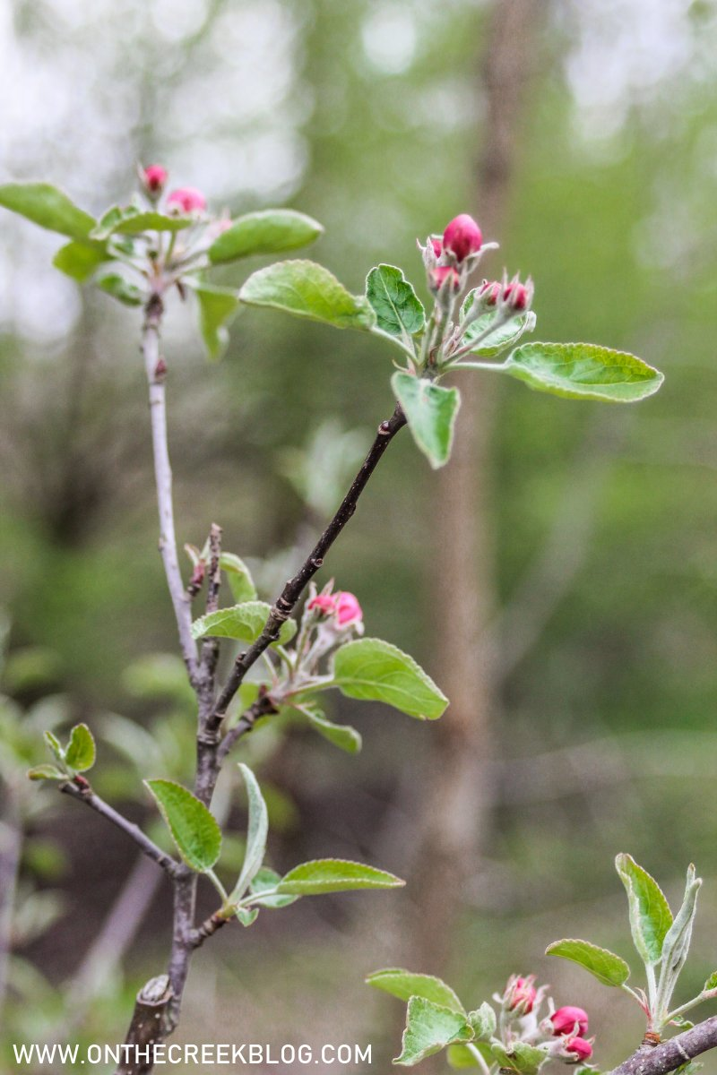 Apple blossoms | On The Creek Blog