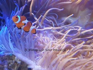 Clownfisch Meeresaquarium Zella Mehlis Fotograph (C) Silvi Provolija