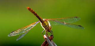 Libelle, Odonata, , Libellen, dragonfly, Libélula, libellule