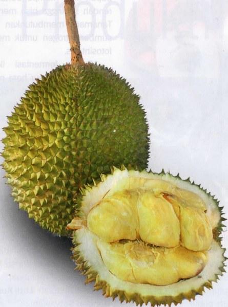 Berburu Durian Super Di Tanah Minang