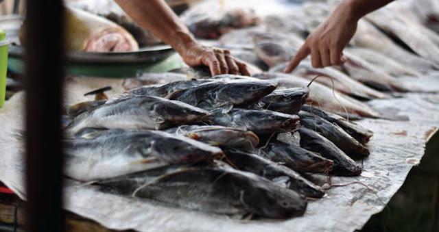 Temukan Jual Ikan Lele Jakarta (Fast Response!)