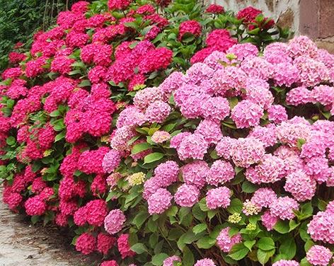 Macizo de hortensias de diferentes colores