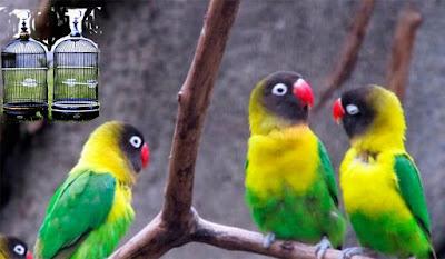 Daftar Harga Sangkar Lovebird Terbaru 2019 Saat Ini
