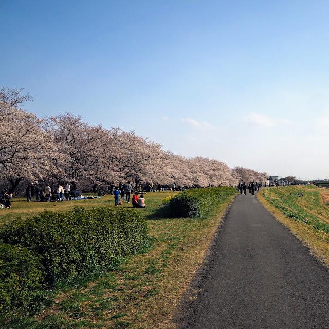 高麗川右岸環境側帯 桜