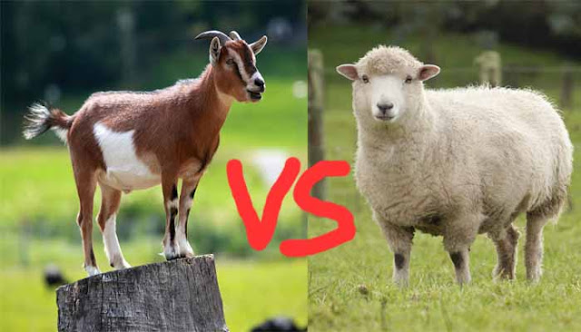 A goat standing on a tree stump and a sheep on a grazing field