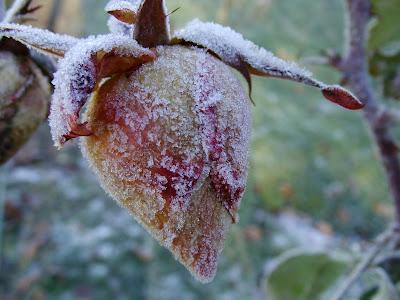 Bouton de rose gelé