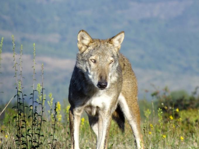 Puglia: lupo strappa vestito a bimba di 6 anni