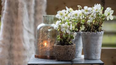 Eléboro (rosa de Navidad) como planta de interior