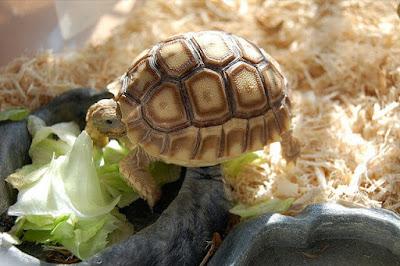 Makanan kura-kura darat