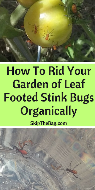 How to get rid of leaf footed stink bugs organically |organic gardening, infestation, pests, gardening, homestead|