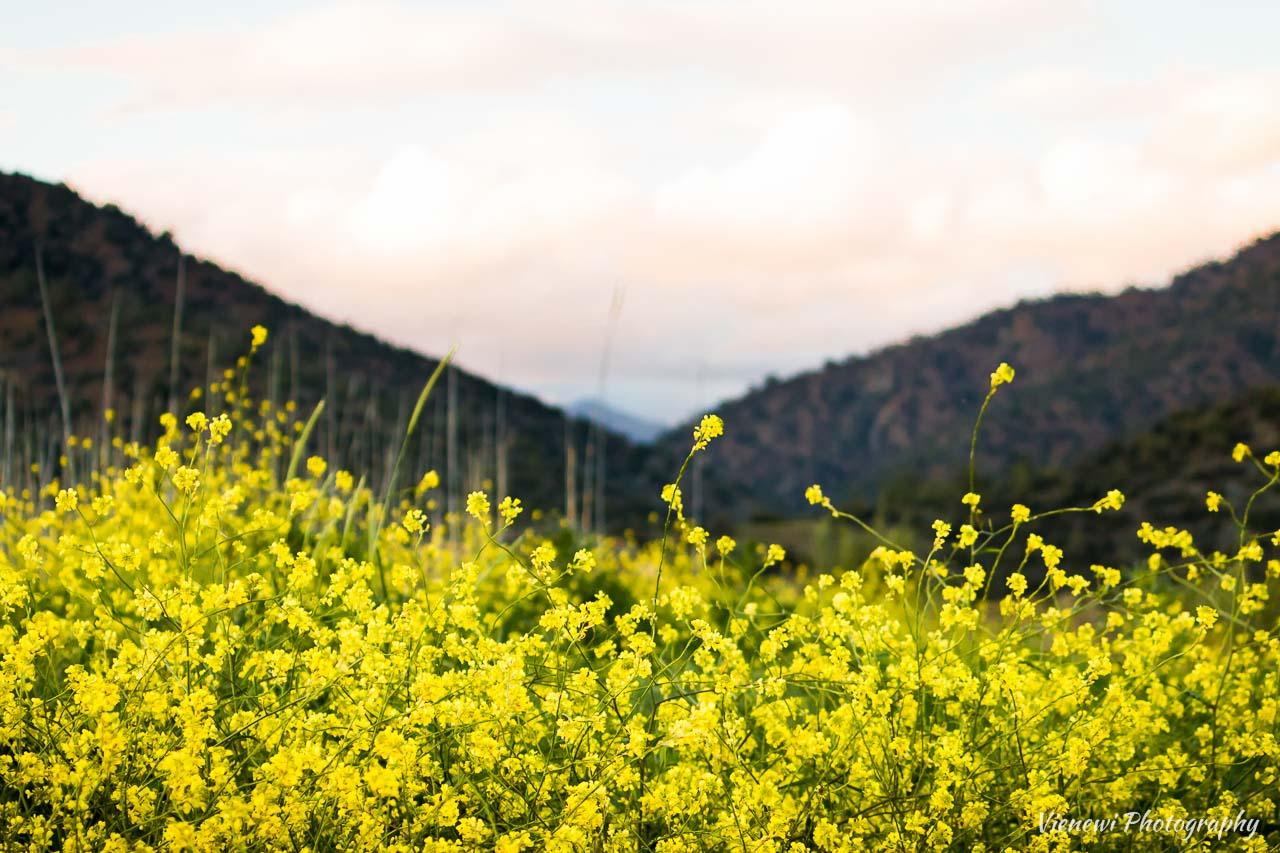 Jaskrawo żółte pola gorczycy z górami w tle.