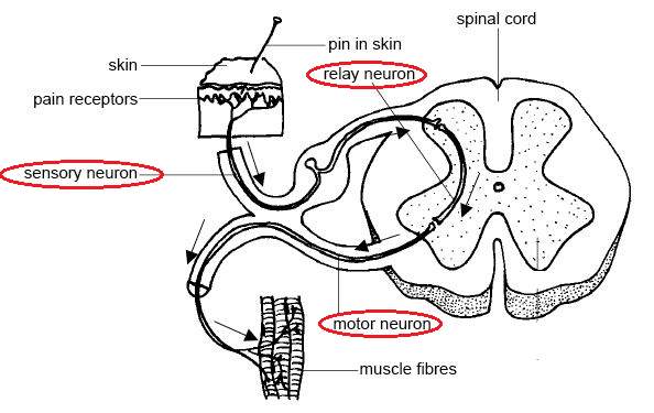 diagram of a simple reflex arc unilite wiring 87 biology notes for igcse 2014
