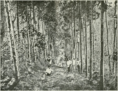 Cinchona tree plantation in Ceylon, circe 1910