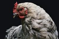 Ada banyak jenis perjuangan yang bisa dilakoni dengan potensi laba besar  Cara Beternak Ayam Arab yang Mudah, Cepat Berhasil, dan Untung