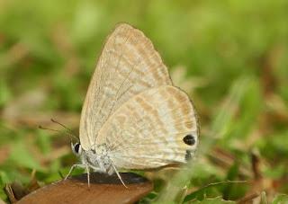 Sekilas Tentang Ordo Lepidoptera