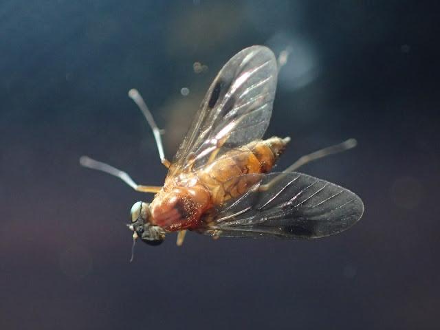 Chrysopilus laetus
