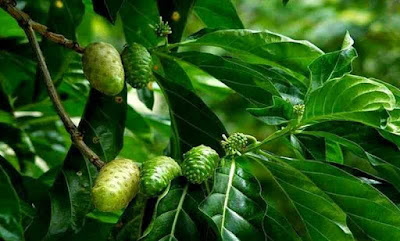 Manfaat daun dan buah mengkudu untuk menangkal penyakit