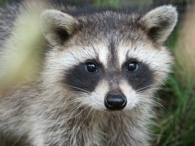 Doctors Gates: Raccoon eyes ,a sign for basal skull fracture Raccoon Face