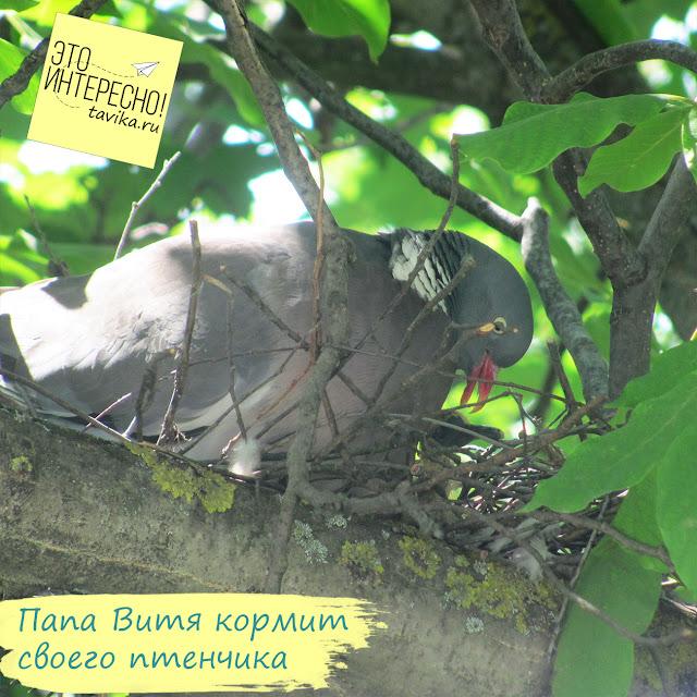 самец витютеня кормит птенца