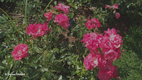 Lady Elsie May shrub roses - Elizabeth Park, West Hartford, CT