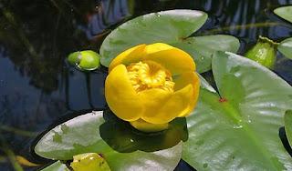 Кувшинка - цветок имени Марина