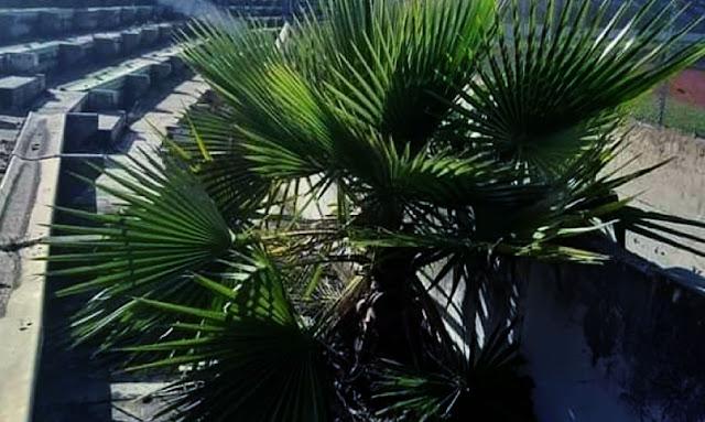l'émergence d'un palmier au virage taraji en Stade Olympique d'El Menzah