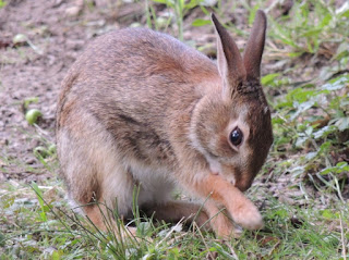 Baby rabbit licks its paw.