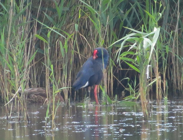 Purple Swamphen - Minsmere, Suffolk