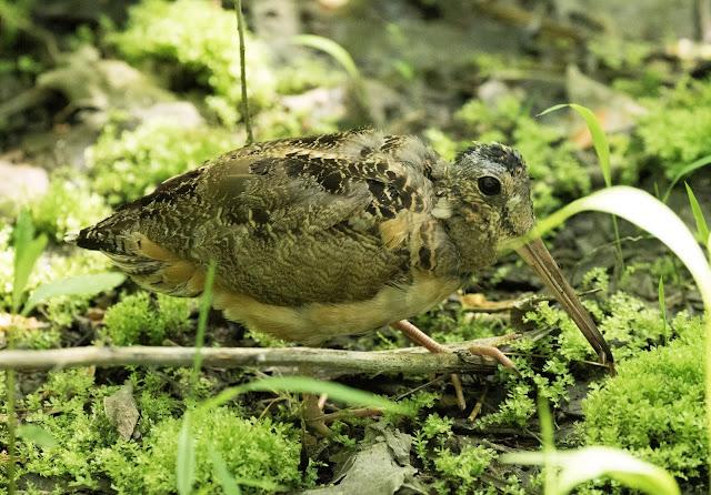 American Woodcock - Magee Marsh, Ohio, USA