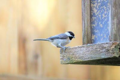 Photo of Carolina Chickadee on bird feeder