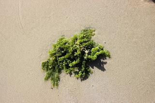 kapiel z algami