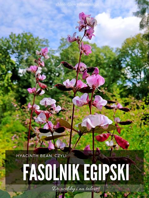 hyacinth bean lablab purpurea wspiega egipska warzywa fasola fasolowate w Chinach vegetables egzotyczne tropikalne rosliny jadalne pokroj uprawa opis pochodzenie lisc lablab bean
