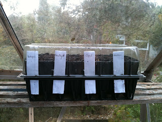 Sweet pea sowing, how the sweet peas should be labelled and kept warm.