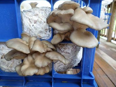Oyster mushroom supply