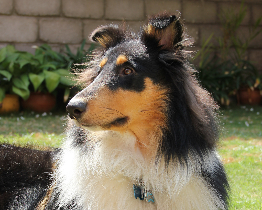 Collie dogs breed cute puppy pictures cute dogs for Types of dogs with photos
