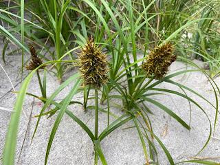 Cyperaceae - Carex macrocephala - Large headed sedge