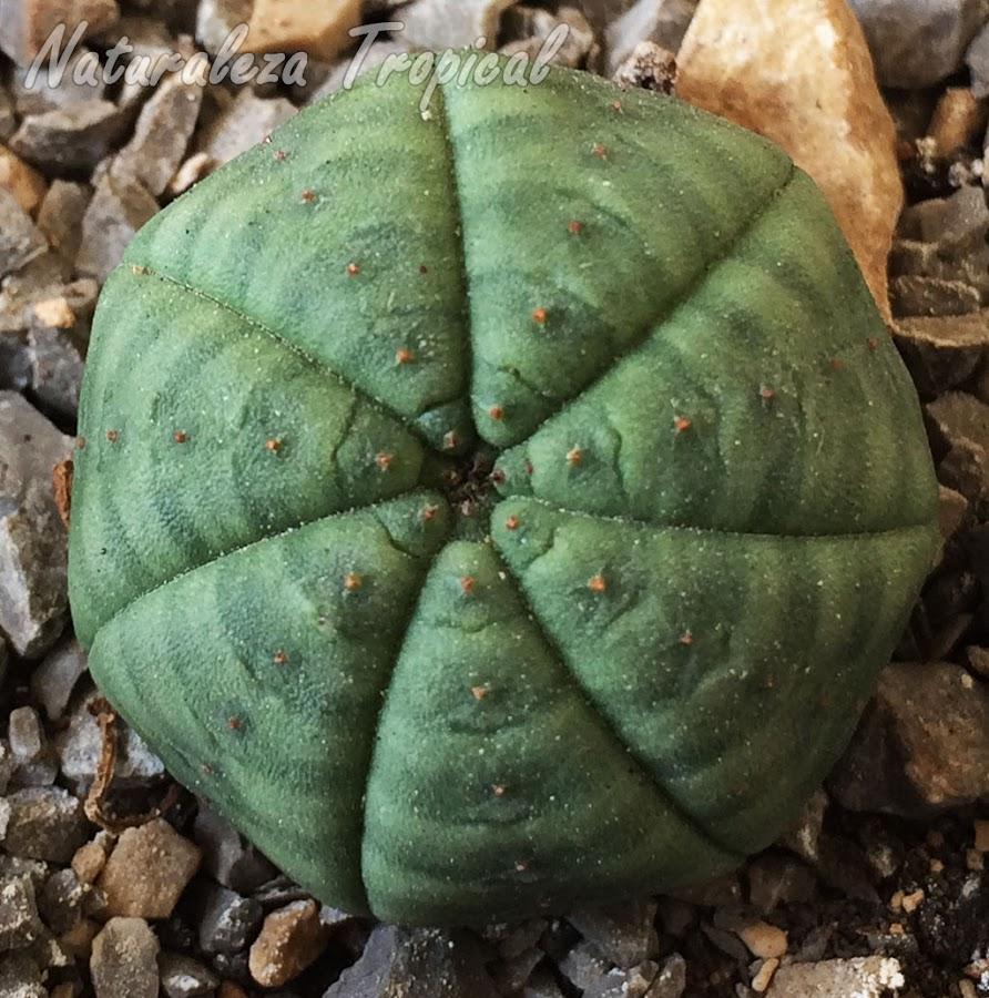 Otra imagen de la planta suculenta Erizo de Mar, Euphorbia obesa