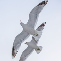 Mew Gulls in flight – Vaxholm, Sweden – June 2013 – photo by Bengt Nyman