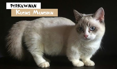 Jual Kucing Munchkin Murah