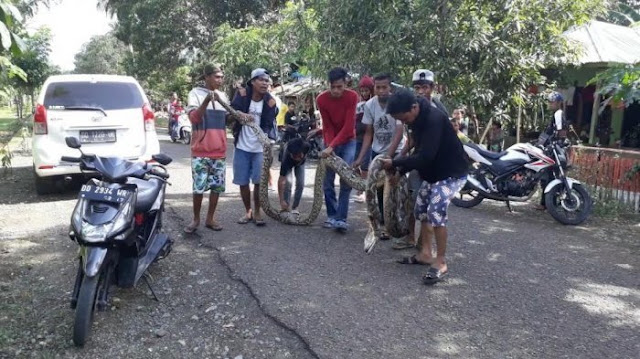 Tragedi Akbar Terulang, Ular Piton 7 Meter Patuk dan Belit Petani Bone
