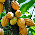 Nigeria's Cocoa Threatened by Black Pod Disease